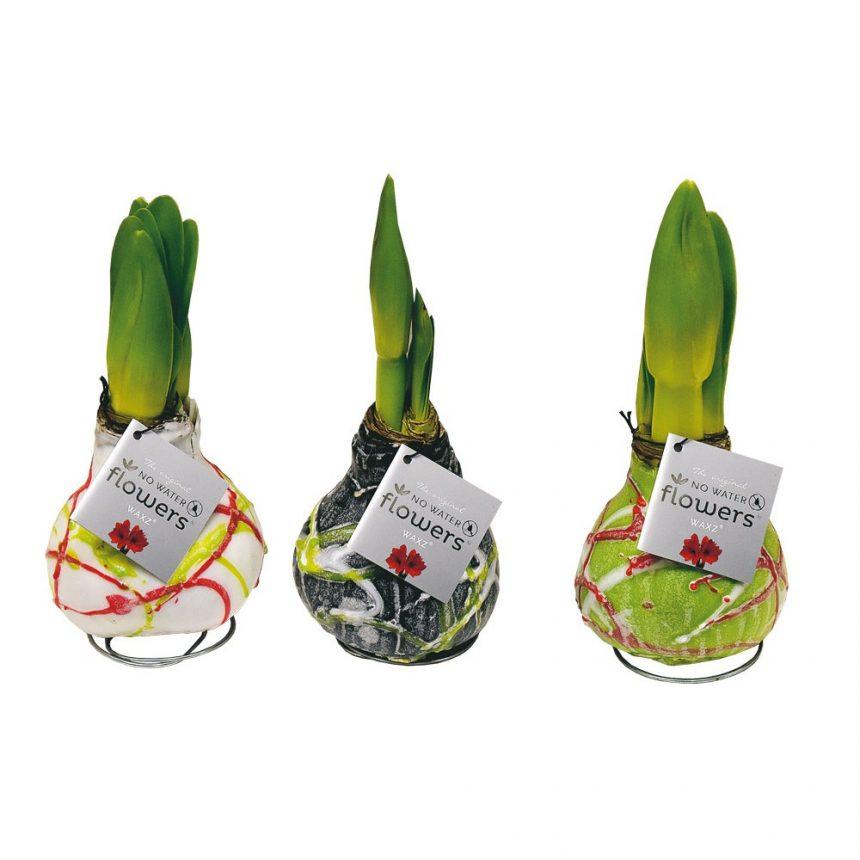 Vaxad amaryllislök