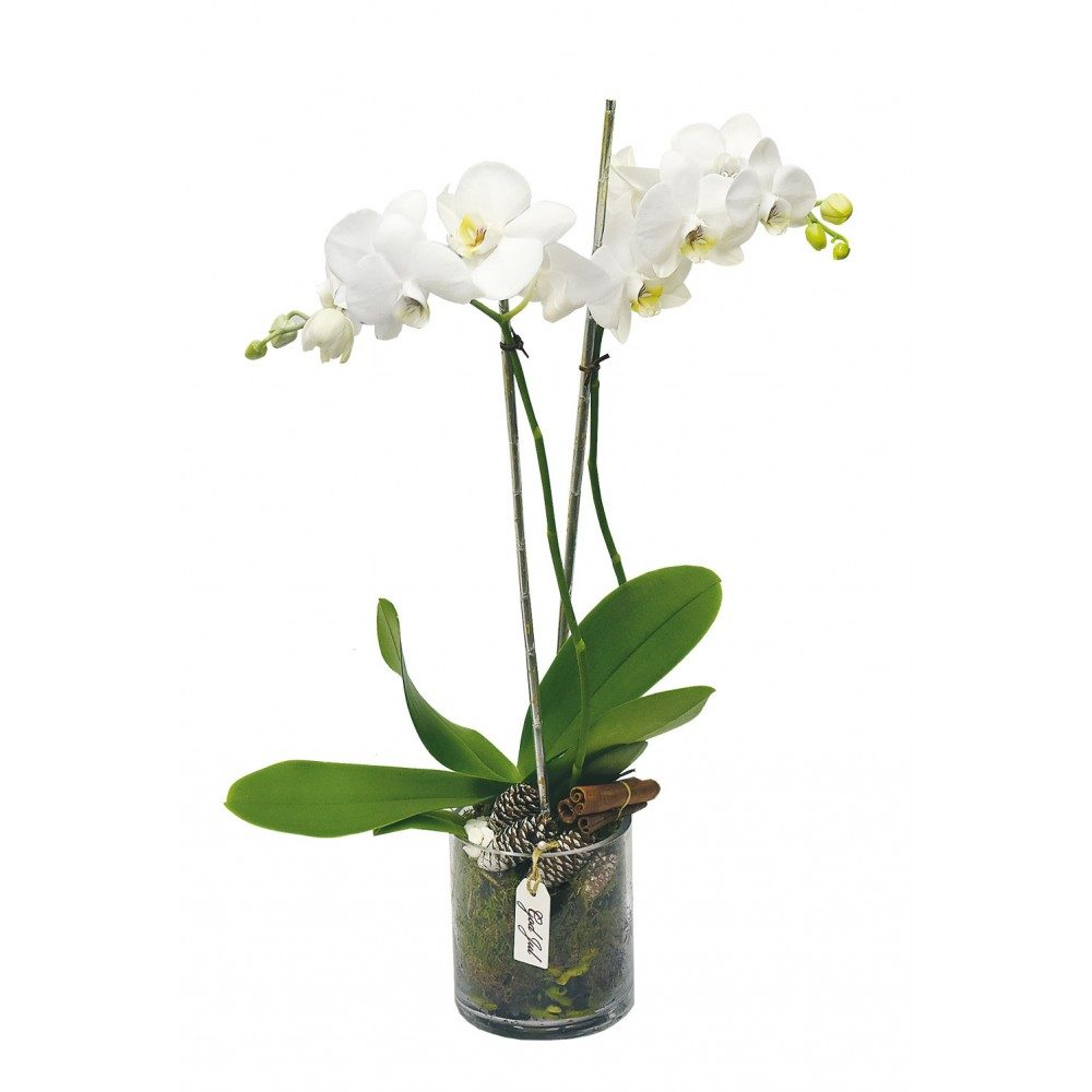 Vit phalaenopsis i glas