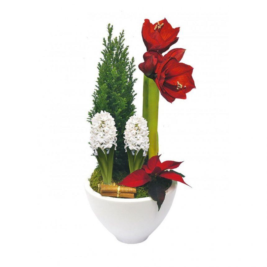 Traditionell Amaryllis