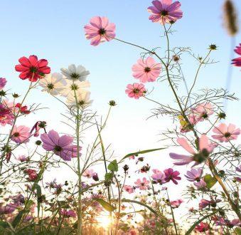 bellis blommor uppsala